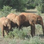 Elephants together in Kenya