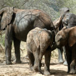 Elephant Host Family