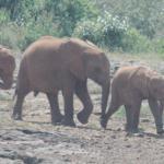 Elephants together