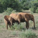 Three elephants in a field